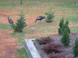 Wild turkeys in our backyard